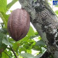 Cocoa de Baracoa