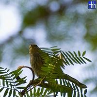 Los Caneyes Bird
