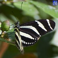 Butterfly, Yaguajay, Sancti Spiritus, Cuba