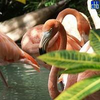Flamingos at Yaguajay